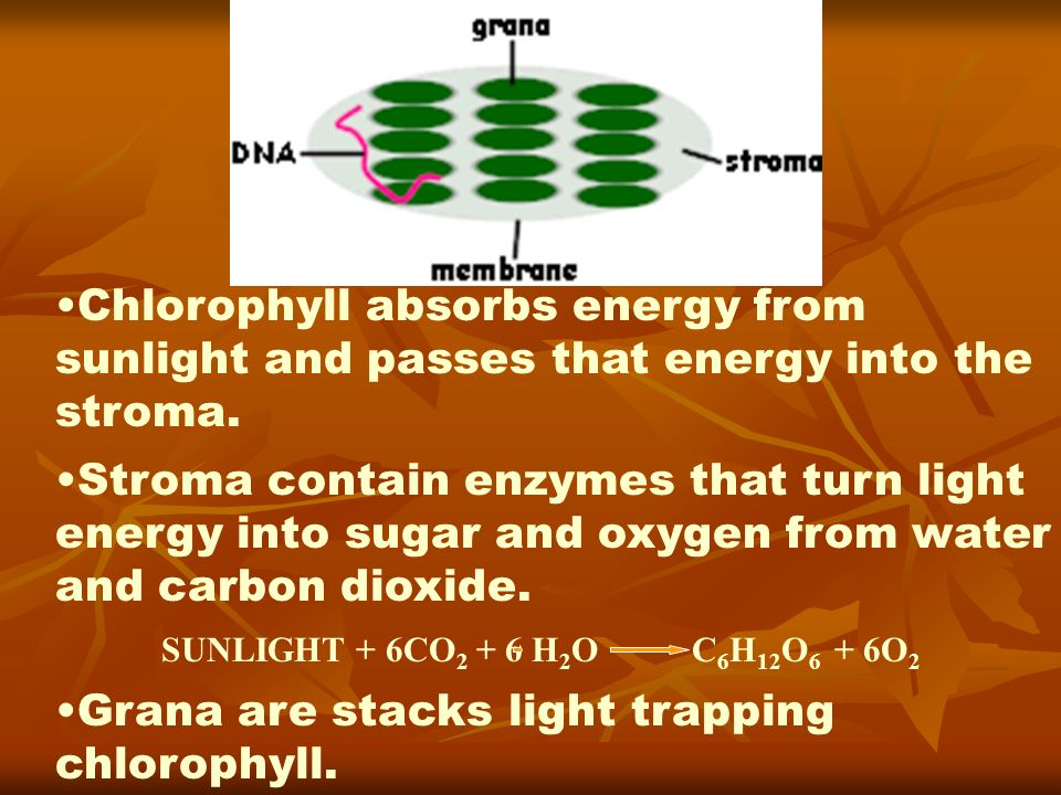 Grana are stacks light trapping chlorophyll.