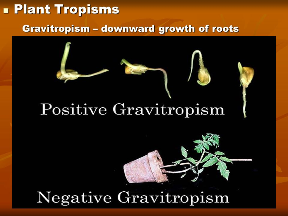 Plant Tropisms Gravitropism – downward growth of roots