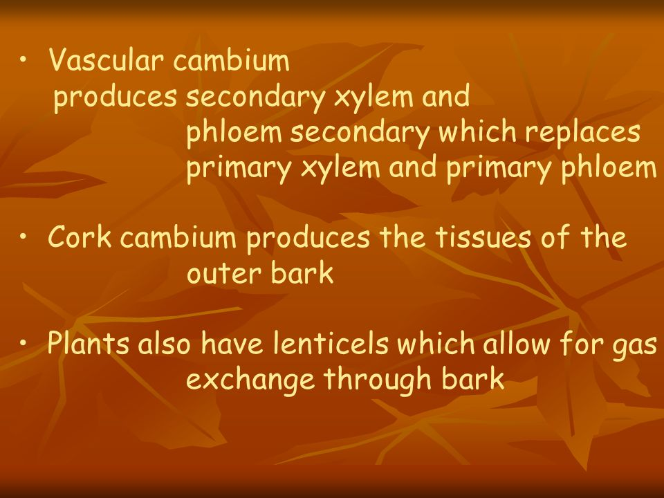 Vascular cambium produces secondary xylem and. phloem secondary which replaces. primary xylem and primary phloem.