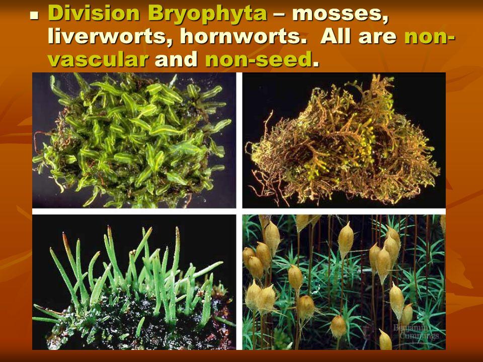 Division Bryophyta – mosses, liverworts, hornworts