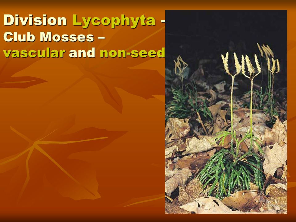 Division Lycophyta -Club Mosses – vascular and non-seed.