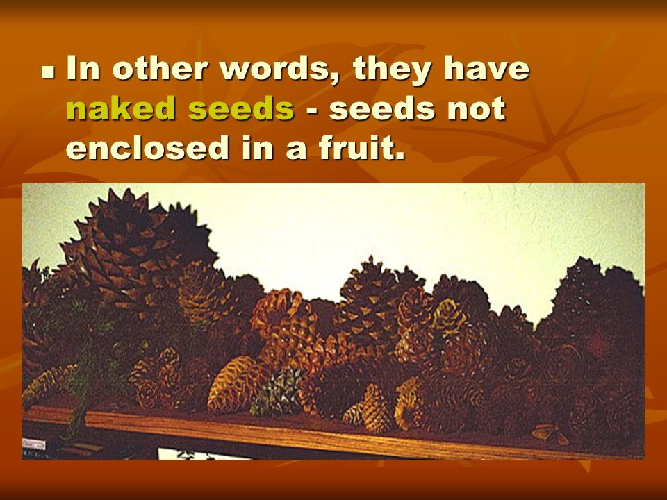 In other words, they have naked seeds - seeds not enclosed in a fruit.