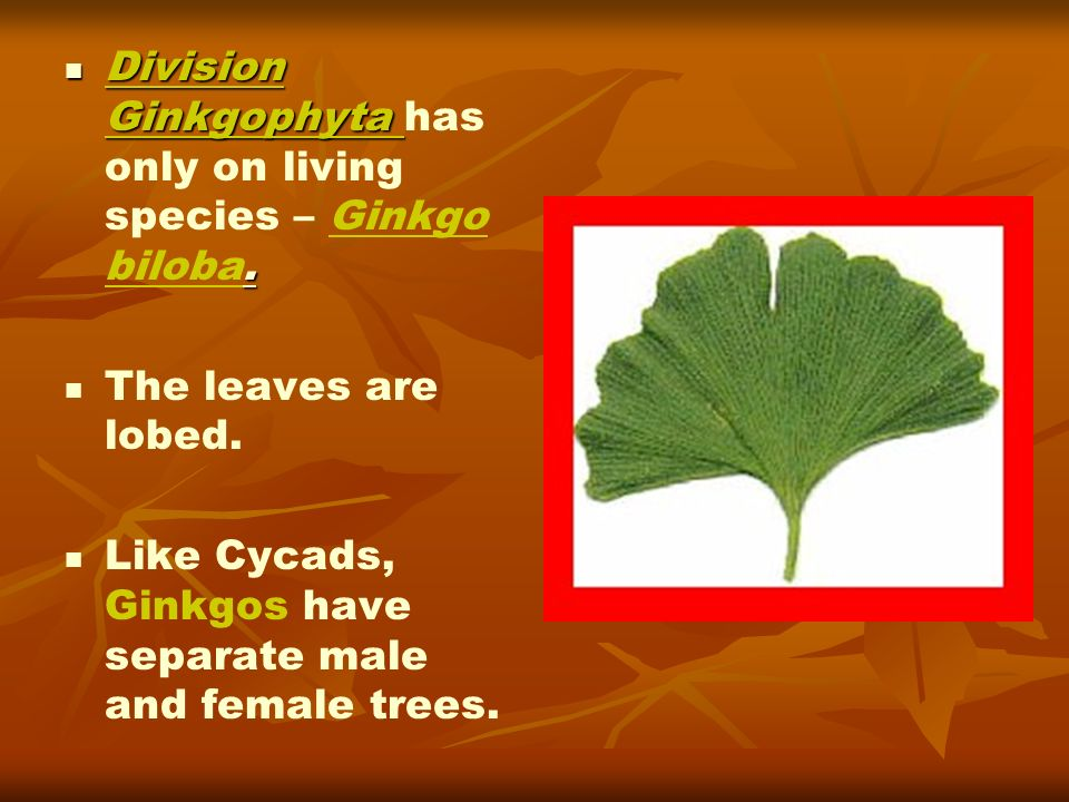 Division Ginkgophyta has only on living species – Ginkgo biloba.