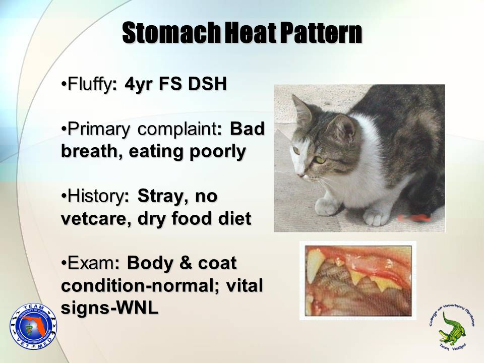 Stomach Heat Pattern Fluffy: 4yr FS DSH