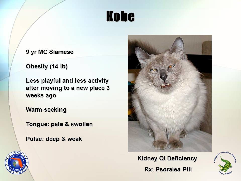 Kobe 9 yr MC Siamese Obesity (14 lb)