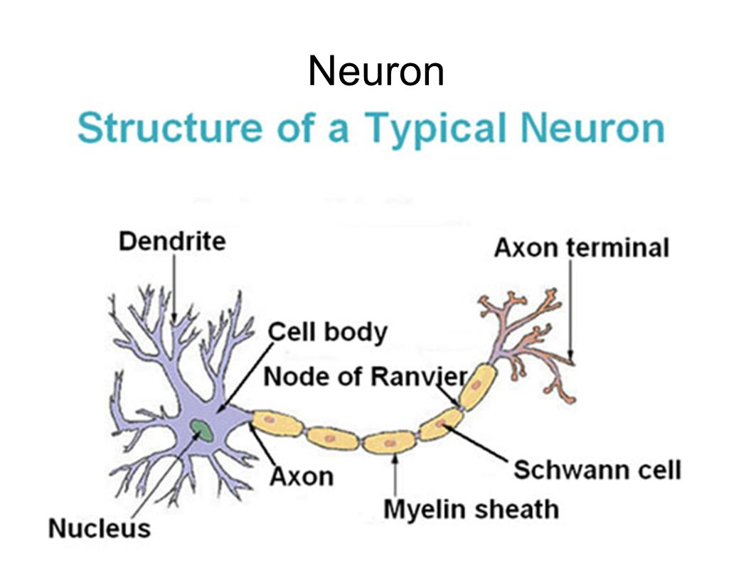 Patho/Phys II Neuron