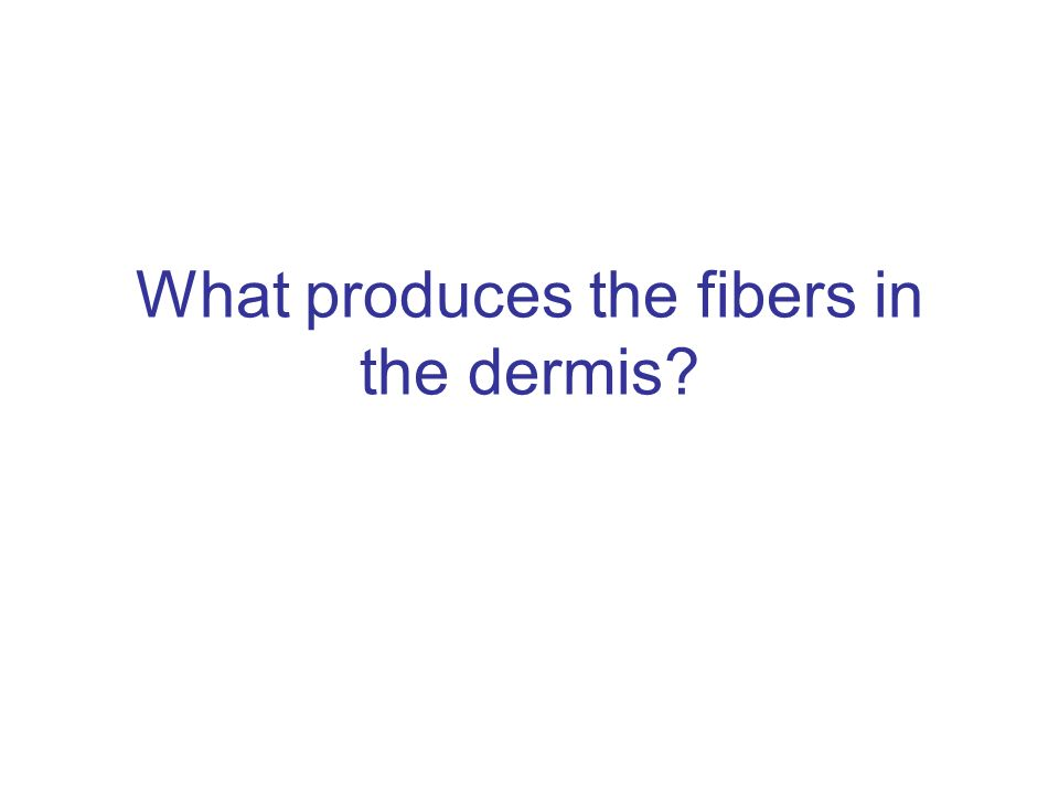 What produces the fibers in the dermis