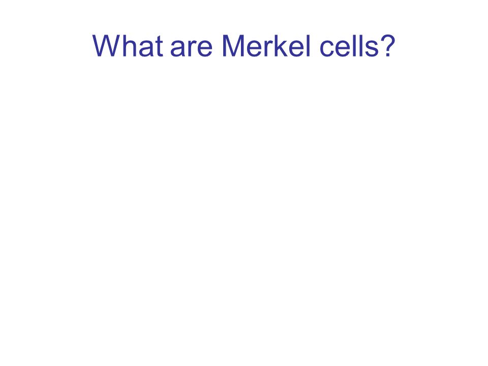 What are Merkel cells