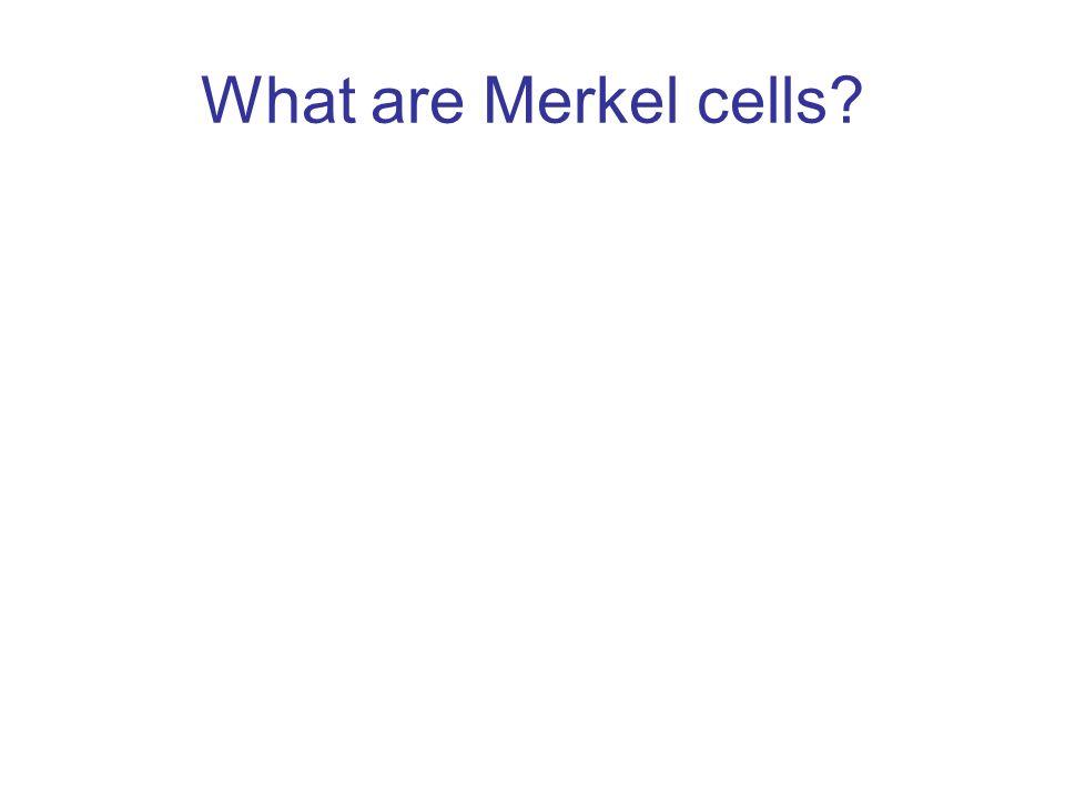 What are Merkel cells