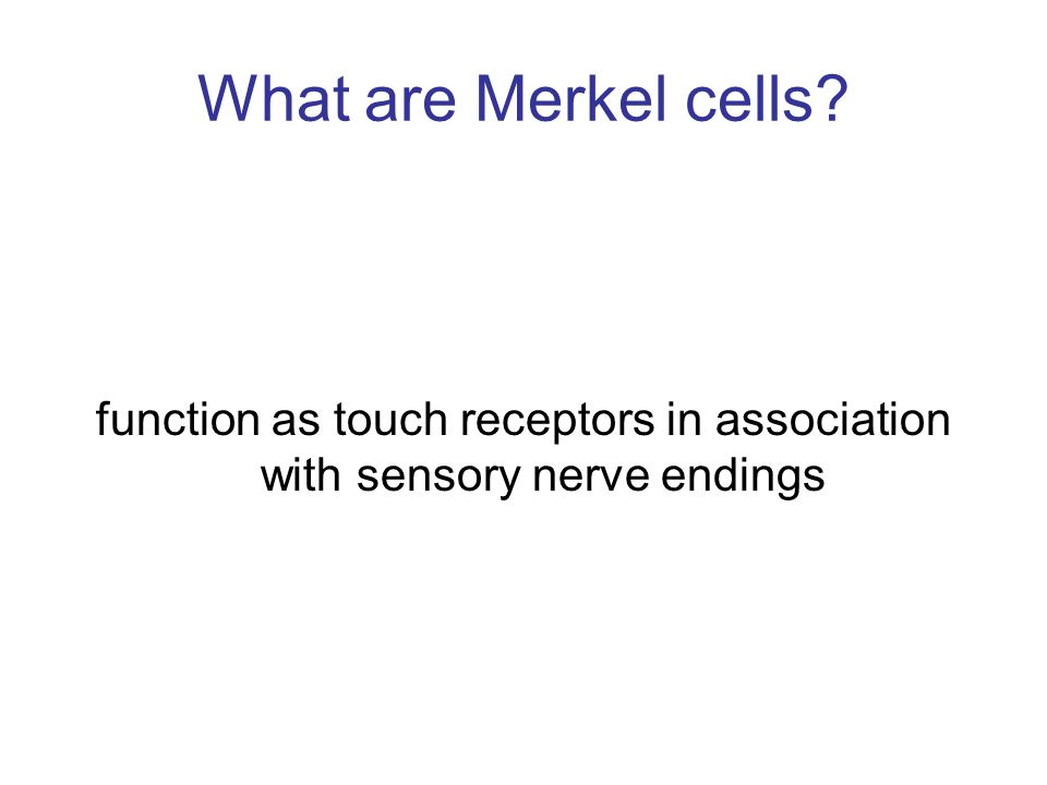 function as touch receptors in association with sensory nerve endings