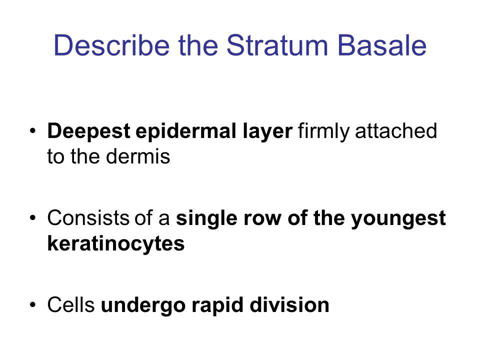 Describe the Stratum Basale