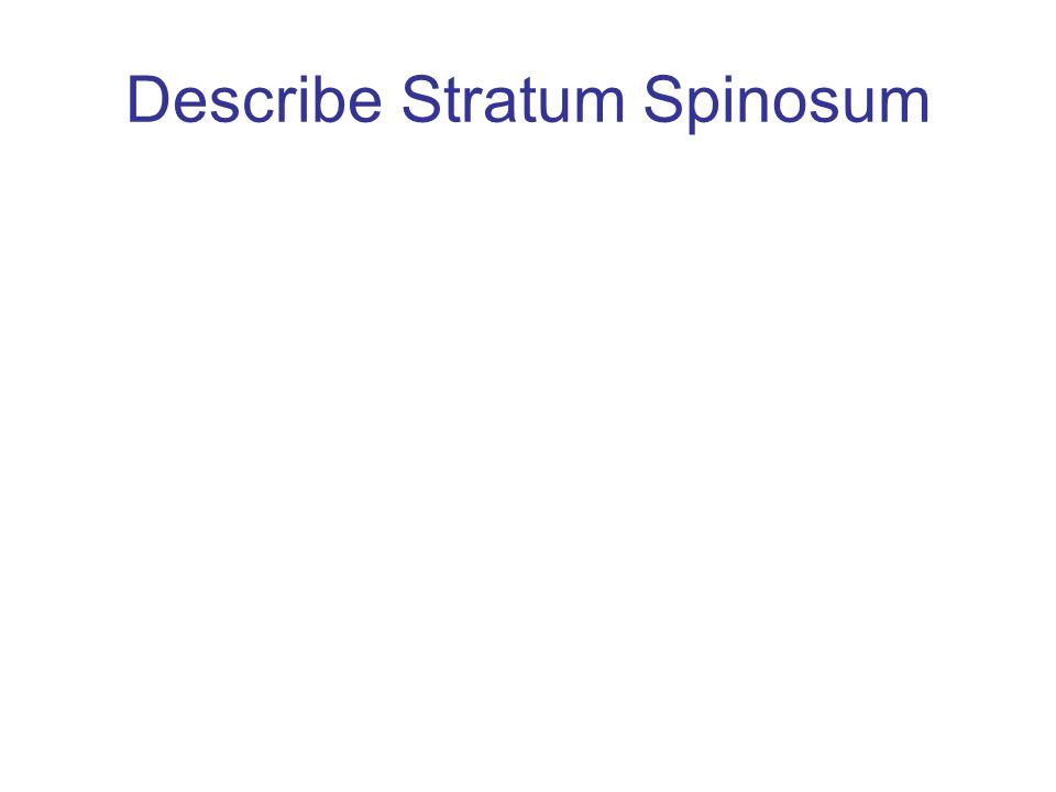 Describe Stratum Spinosum