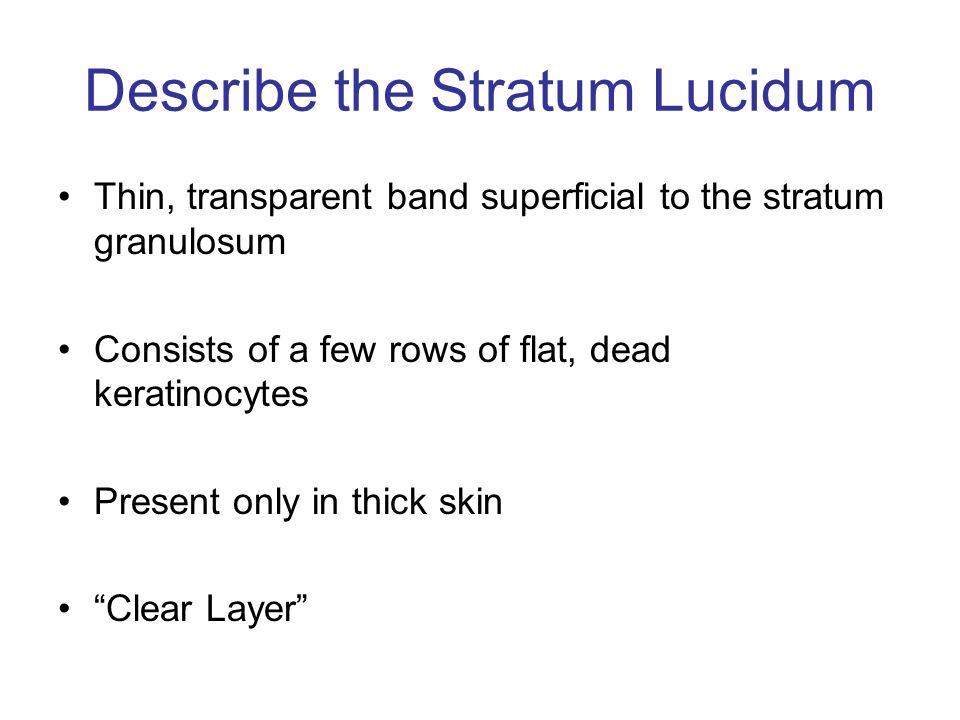 Describe the Stratum Lucidum