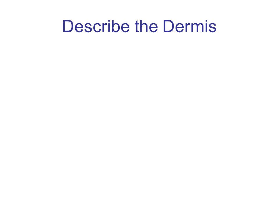 Describe the Dermis