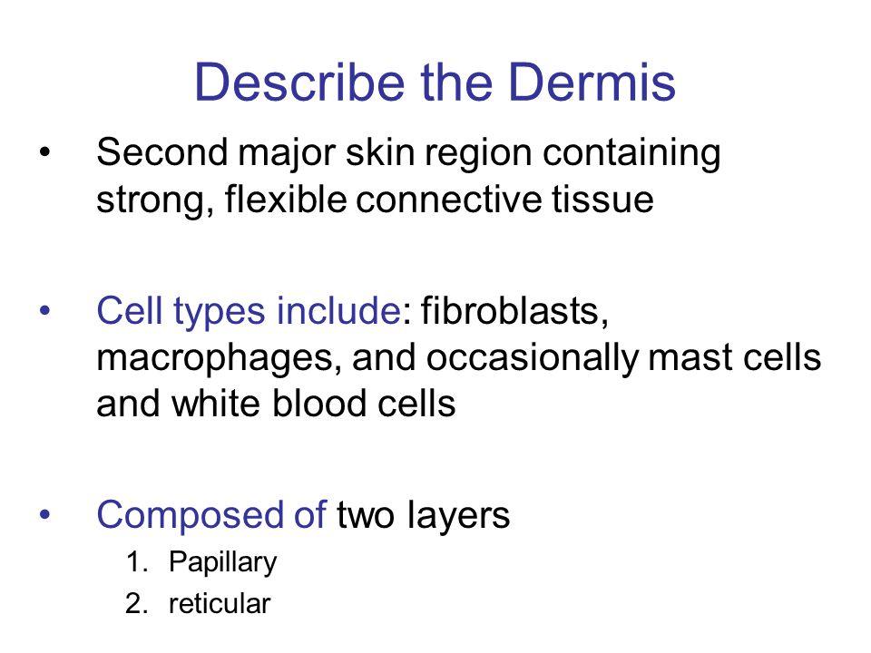 Describe the Dermis Second major skin region containing strong, flexible connective tissue.