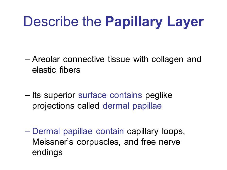 Describe the Papillary Layer