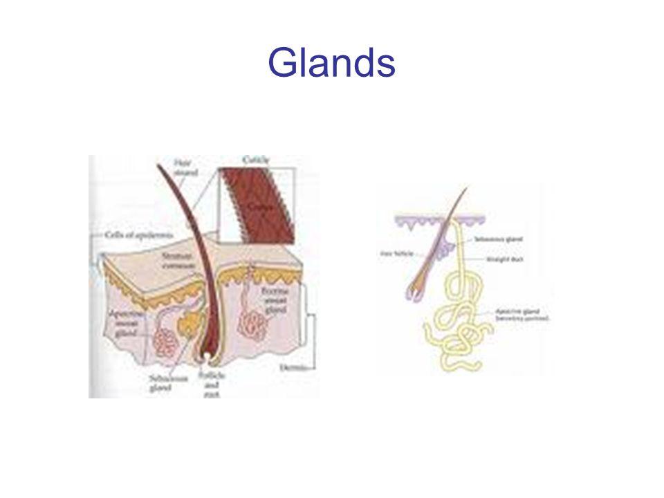 Glands