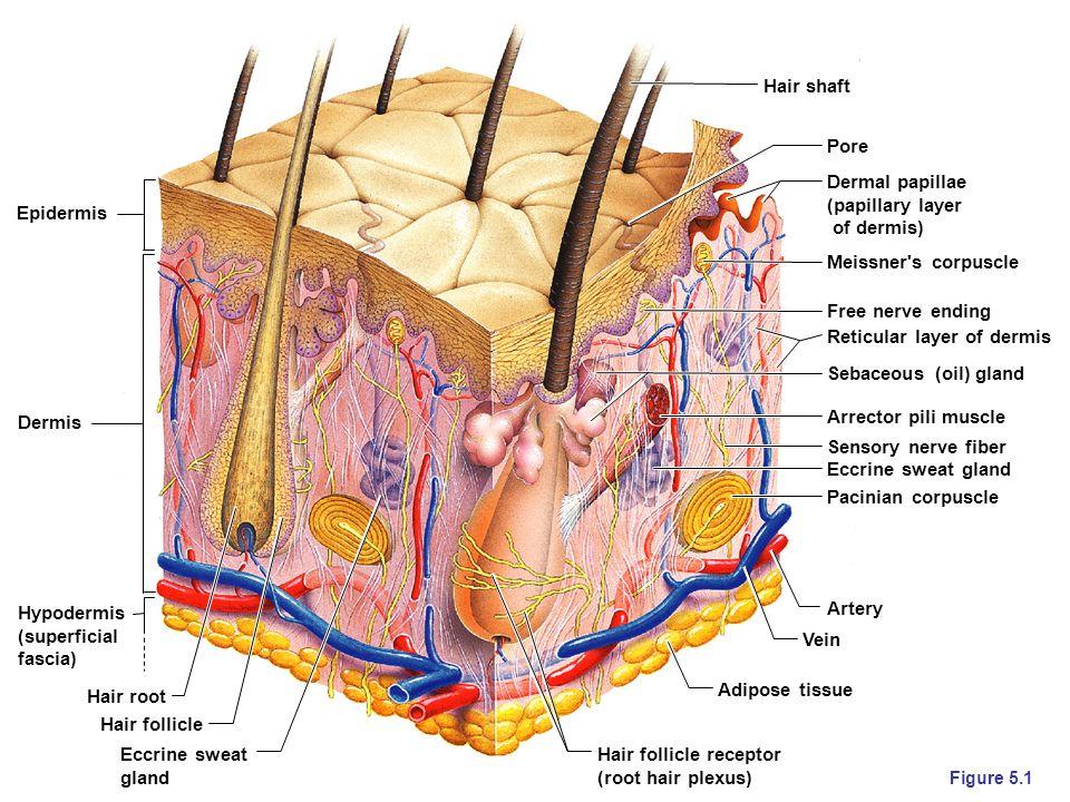 Reticular layer of dermis