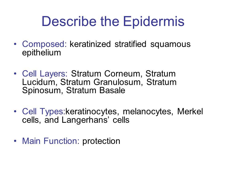Describe the Epidermis