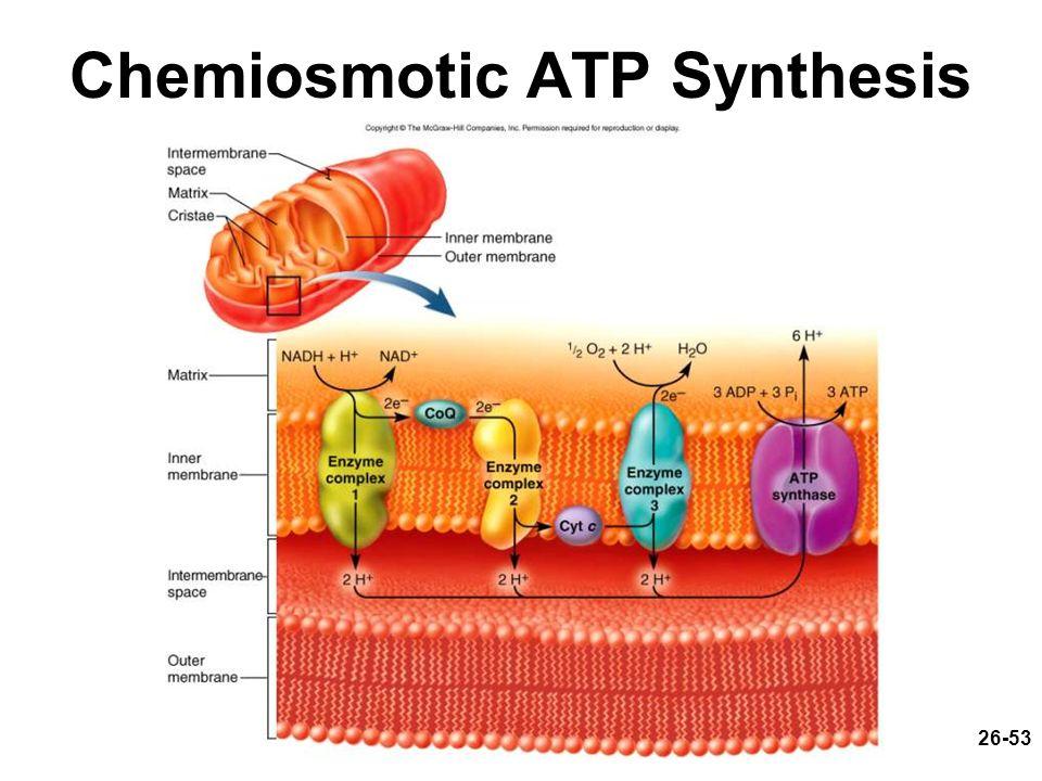 Chemiosmotic ATP Synthesis