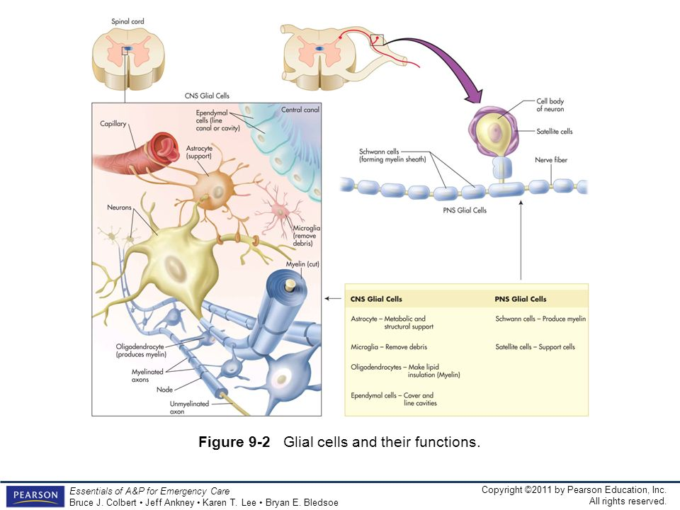 Figure 9-2 Glial cells and their functions.