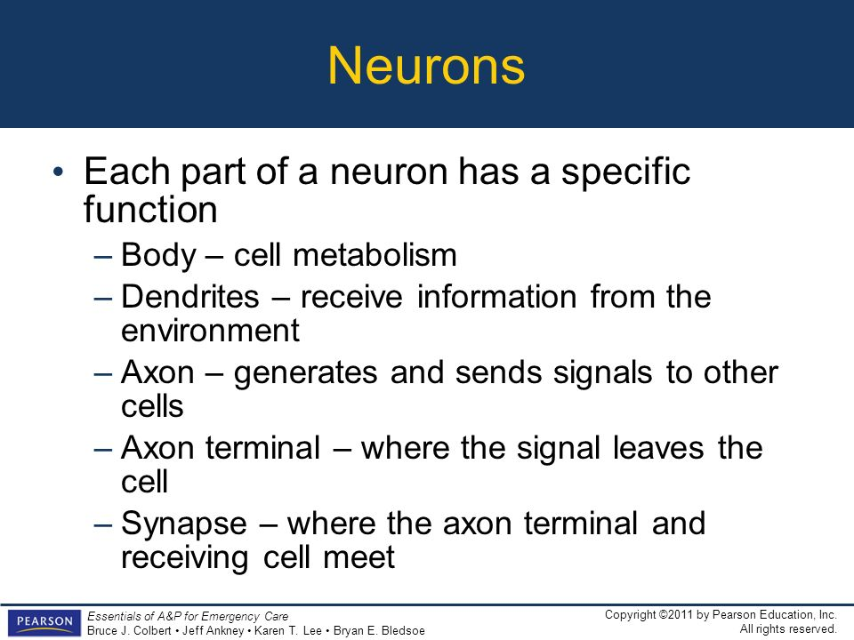 Neurons Each part of a neuron has a specific function