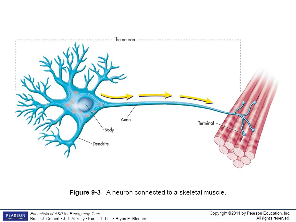 Figure 9-3 A neuron connected to a skeletal muscle.