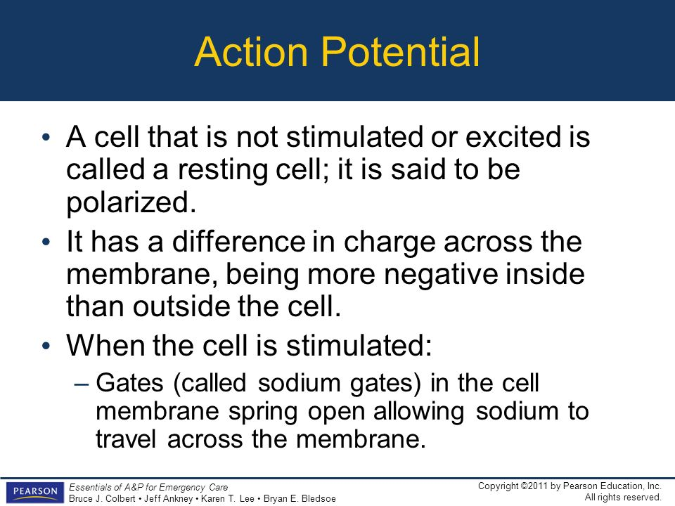 Action Potential A cell that is not stimulated or excited is called a resting cell; it is said to be polarized.