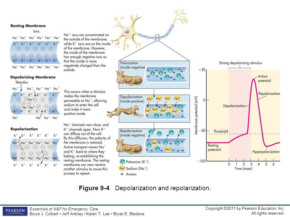 Figure 9-4 Depolarization and repolarization.