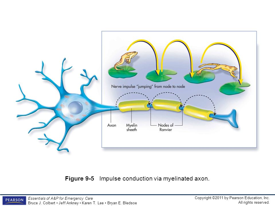Figure 9-5 Impulse conduction via myelinated axon.