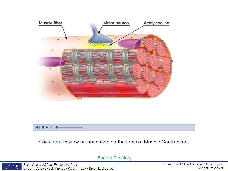 Click here to view an animation on the topic of Muscle Contraction.