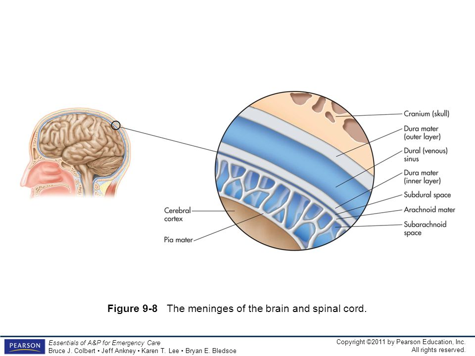 Figure 9-8 The meninges of the brain and spinal cord.