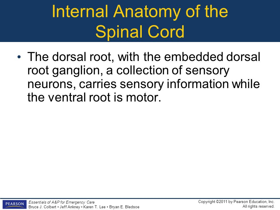 Internal Anatomy of the Spinal Cord