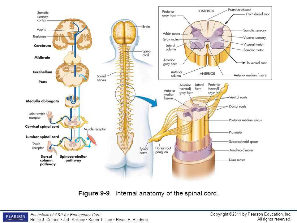 Figure 9-9 Internal anatomy of the spinal cord.