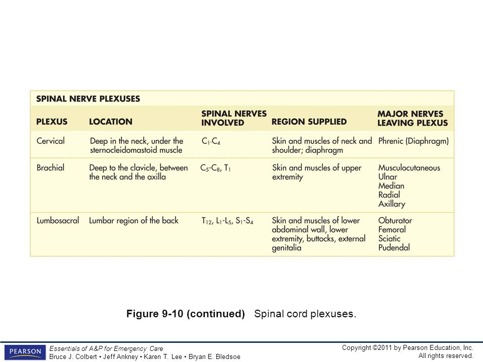 Figure 9-10 (continued) Spinal cord plexuses.