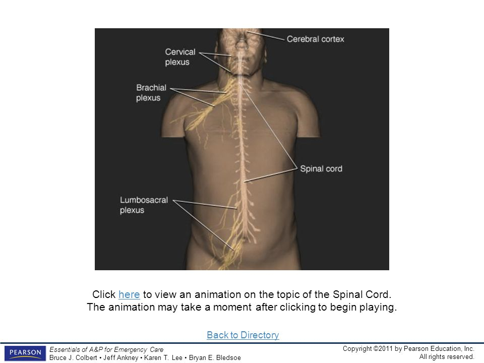 Click here to view an animation on the topic of the Spinal Cord