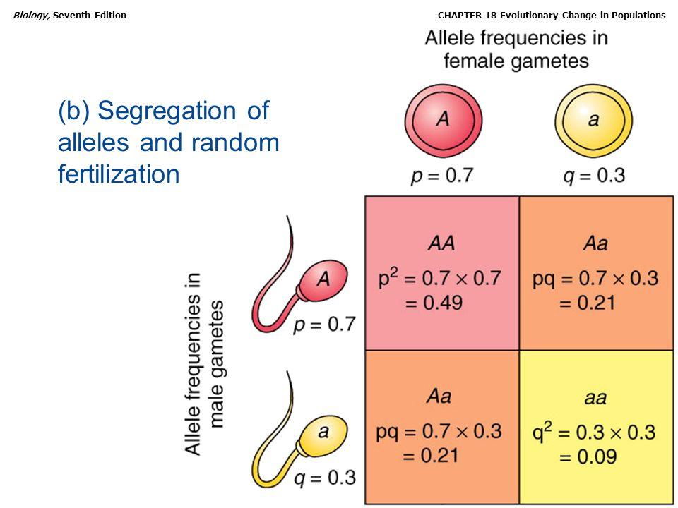 (b) Segregation of alleles and random fertilization