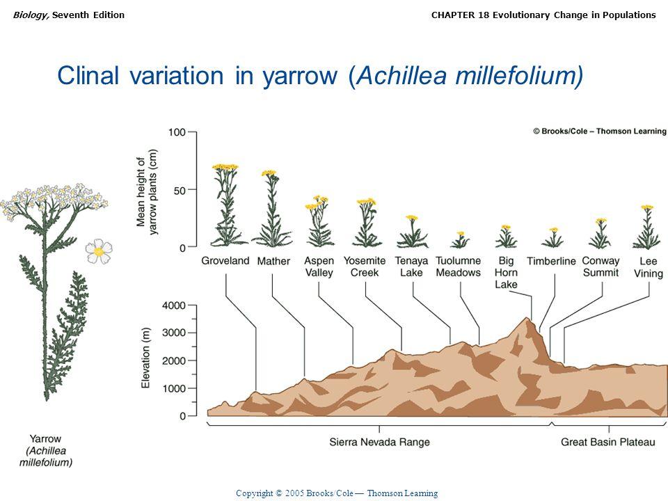 Clinal variation in yarrow (Achillea millefolium)