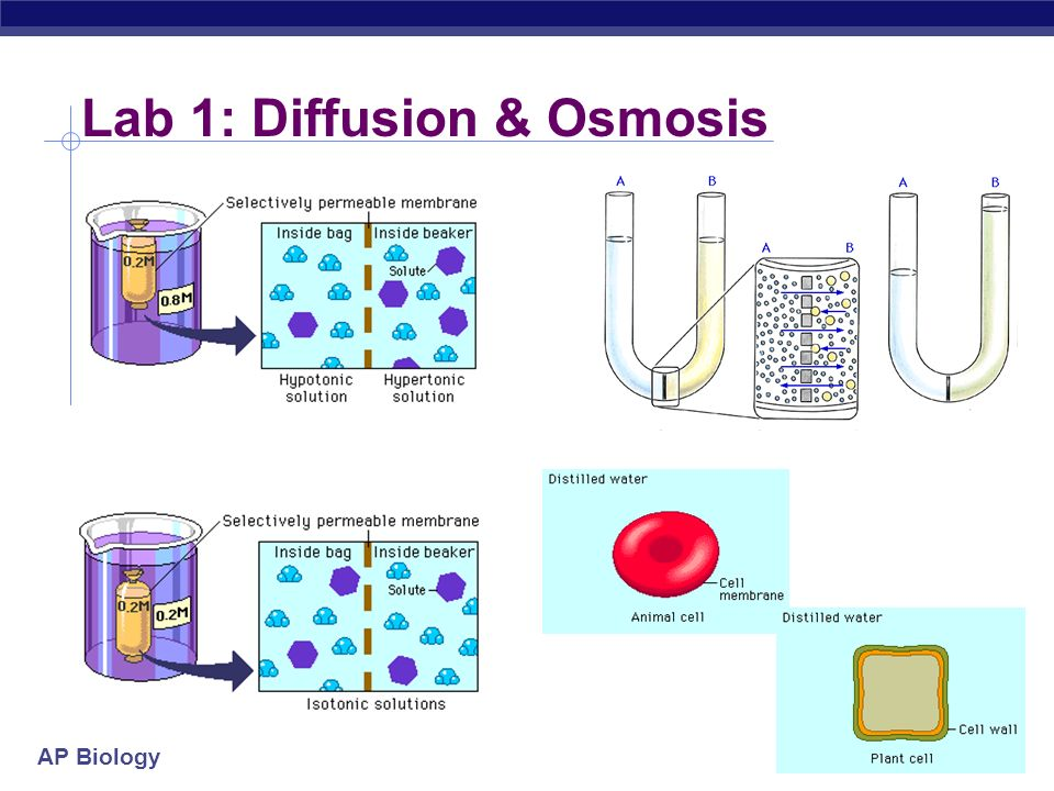Osmosis and Diffusion Lab for AP Bio (2) | Osmosis | Cell Membrane