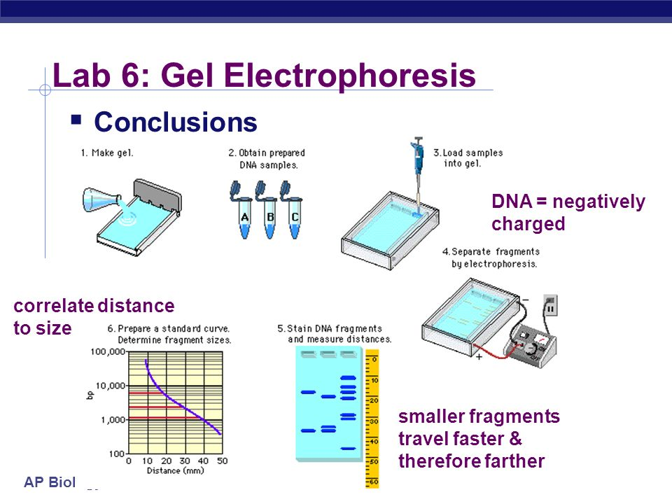 ap biology gel electrophoresis essay Gel electrophoresis lab report - quick and trustworthy writings from industry  leading company best hq writing  writing an opinion essay gel  electrophoresis lab report  thanks gel electrophoresis: gel electrophoresis of  gel electrophoresis general biology  nuño ap bio 10 105 cm gel  electrophoresis.