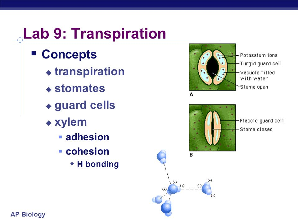 AP Biology Lab Review. - ppt video online download