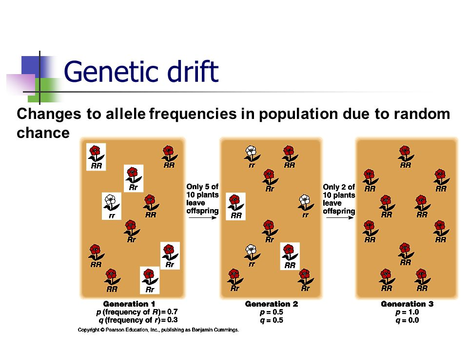 Genetic drift Changes to allele frequencies in population due to random chance