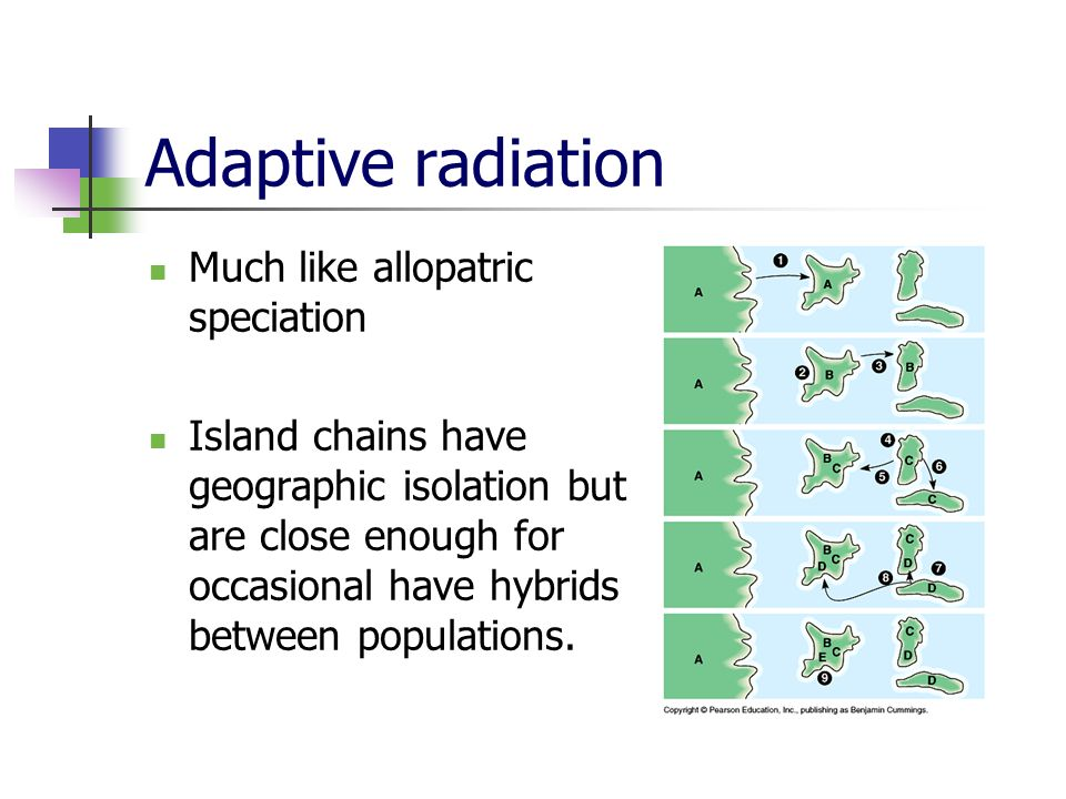 Adaptive radiation Much like allopatric speciation