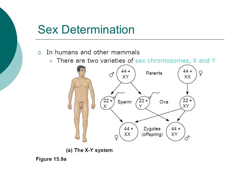 Sex Determination In humans and other mammals