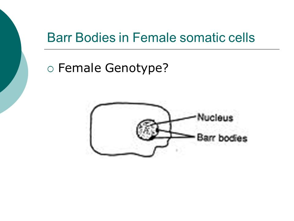 Barr Bodies in Female somatic cells