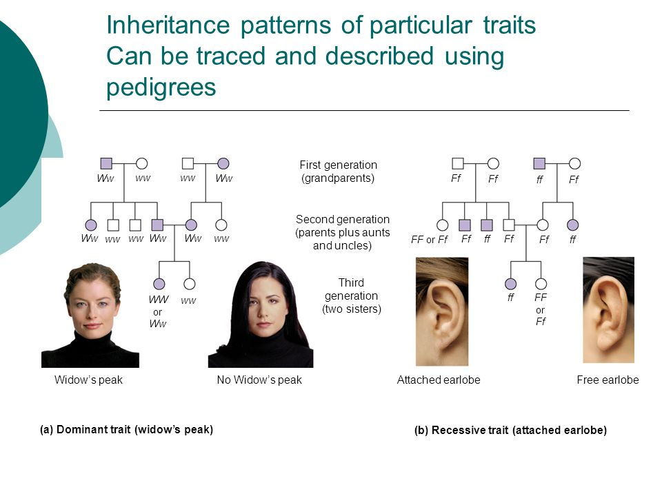 Inheritance patterns of particular traits Can be traced and described using pedigrees