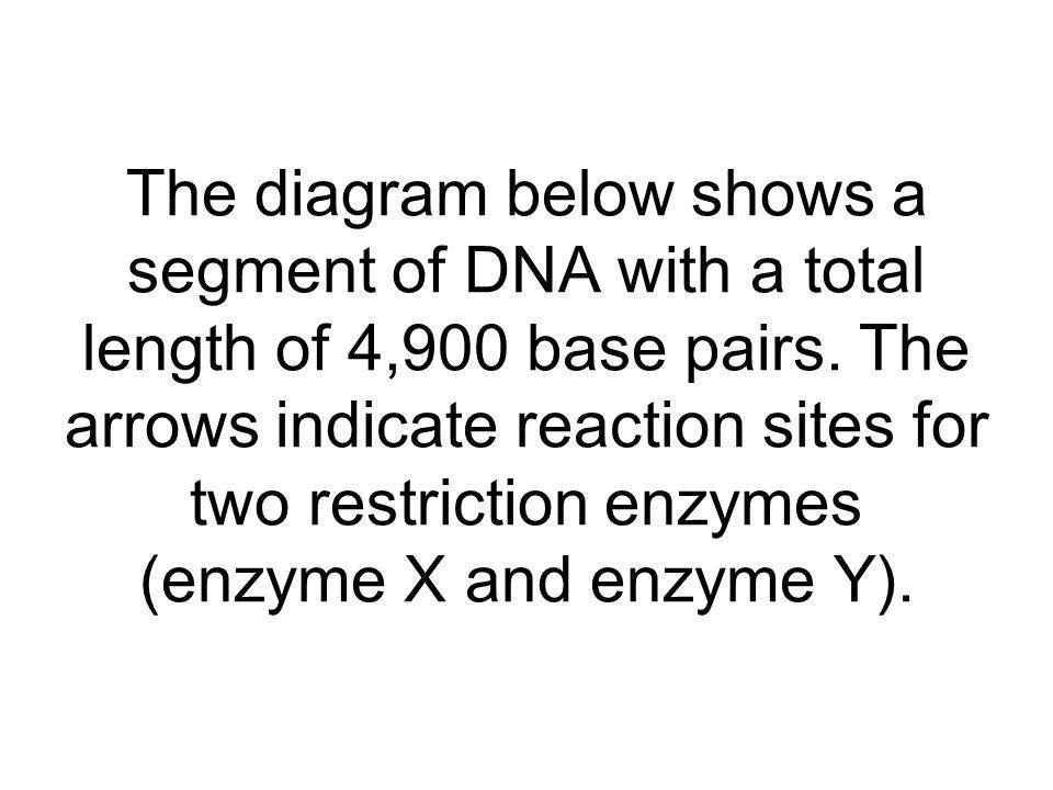 The diagram below shows a segment of DNA with a total length of 4,900 base pairs.
