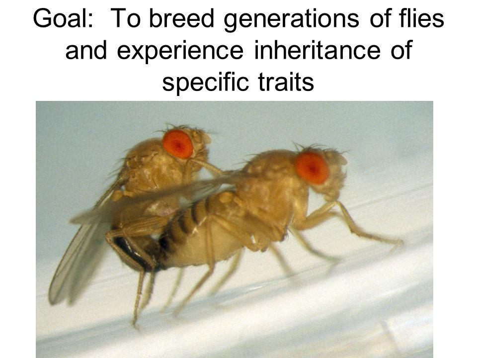 Goal: To breed generations of flies and experience inheritance of specific traits