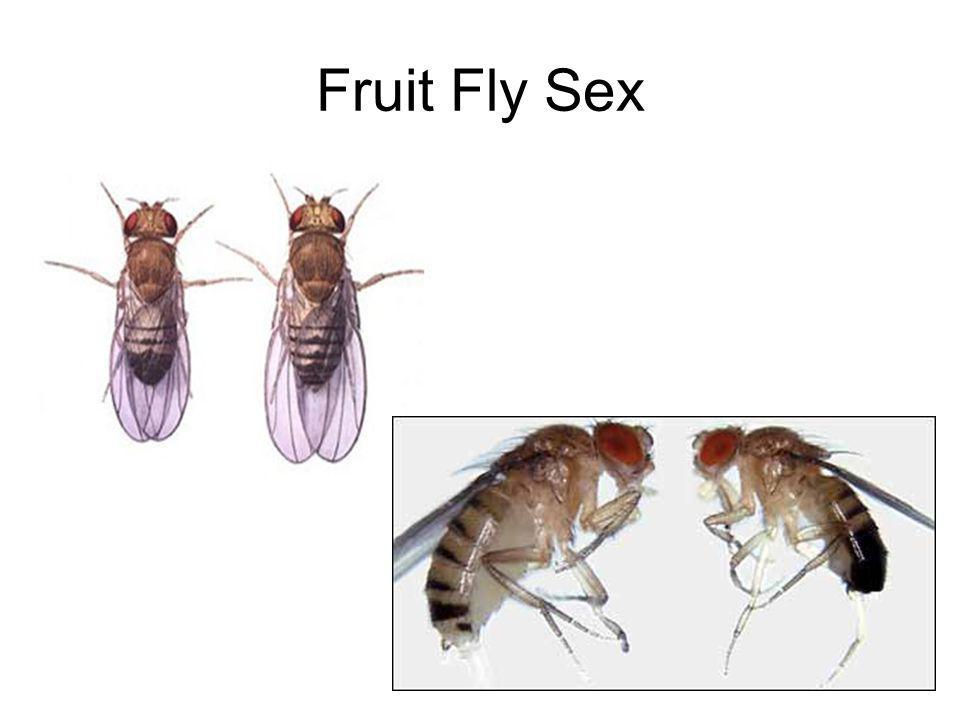 Fruit Fly Sex