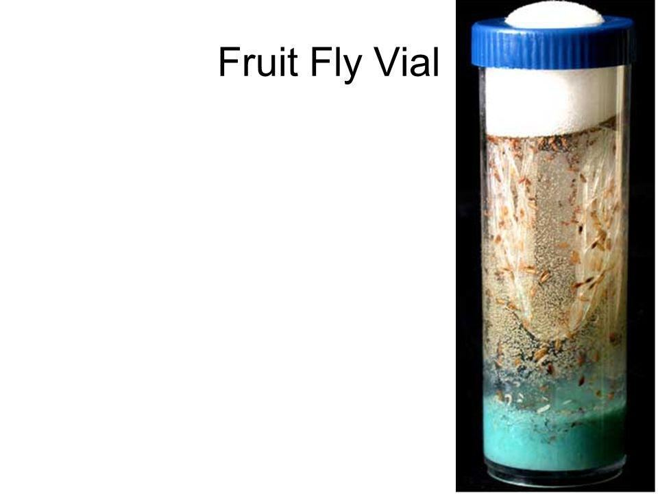 Fruit Fly Vial